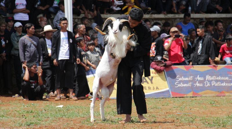 Asal Mula Domba Garut dan Seni Ketangkasan Domba Garut